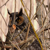 A. Otus ( Long eared Owl )