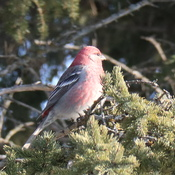 Red Grosbeak
