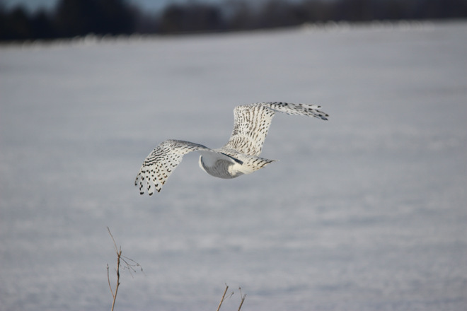 The Snowy Owl Lucan, ON