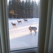 Backyard Whitetails