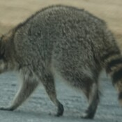 Raccoon hunting for food along the Oshawa Waterfront