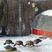 Turkeys Enjoying a Snack.
