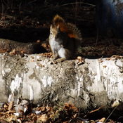 RED SQUIRREL RESTING