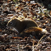 RED SQUIRREL enjoying the WEATHER