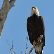 JUST ABOUT ADULT BALD EAGLE