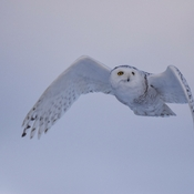Evening snowy owl