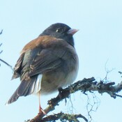 Junco puff