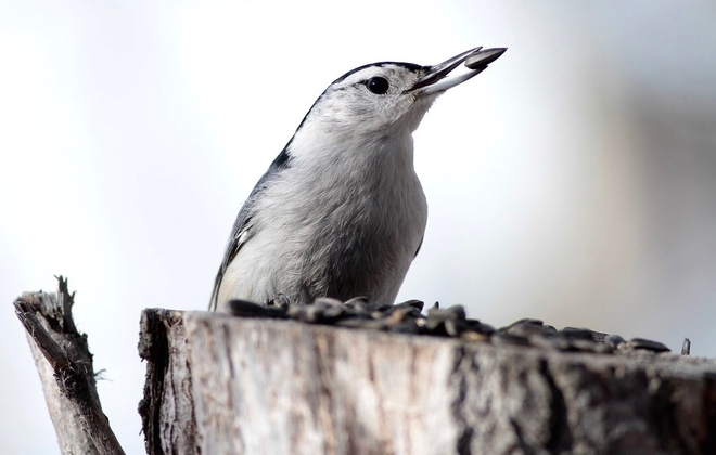 White breasted nuthatch Edmonton, Alberta, CA