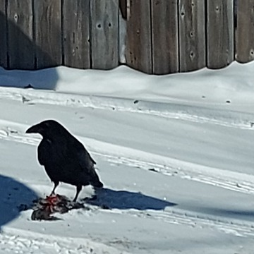 Crow having lunch
