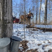Gathering Sap the old fashioned way