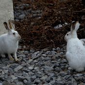 two white-tailed jackrabbits