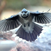 Bluejay coming in for a landing.