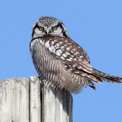 Sunday Hawk Owl