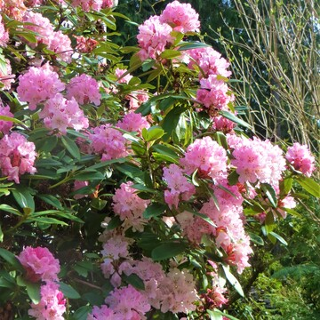 The Bees are Loving the Rhodos