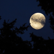 Moon Peaking Through Douglas-Fir Tree
