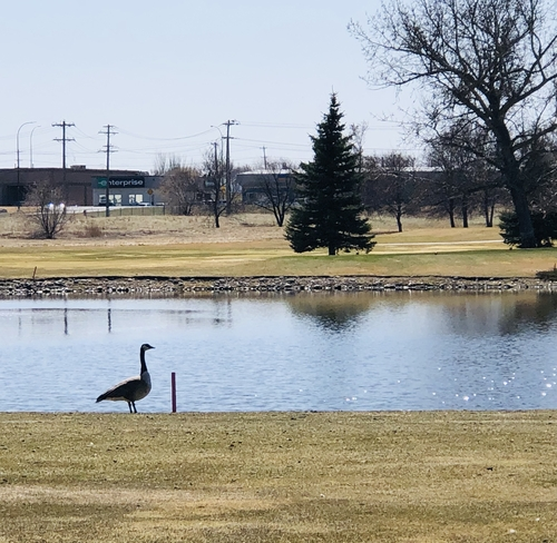 Canada goose posing for this spring photo on the golf course! Medicine Hat, Alberta, CA