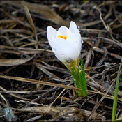 Crocus, Elliot Lake.