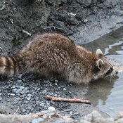 Thirsty the Raccoon