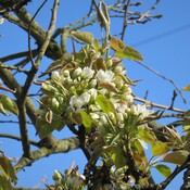 The Asian pears flowers