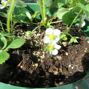 strawberries flowers