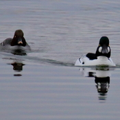 Common goldeneye couple