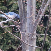 Blue Jay hiding food