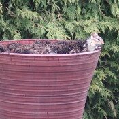 Chipmunk in planter