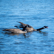 Canada Geese defending territory and walking on water