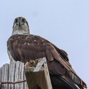 The osprey is judging me!