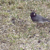 THE JUNCO BIRD