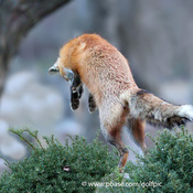 Fox leaps up after prey