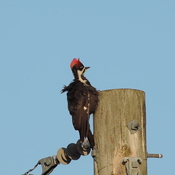 Punk Rock Woodpecker