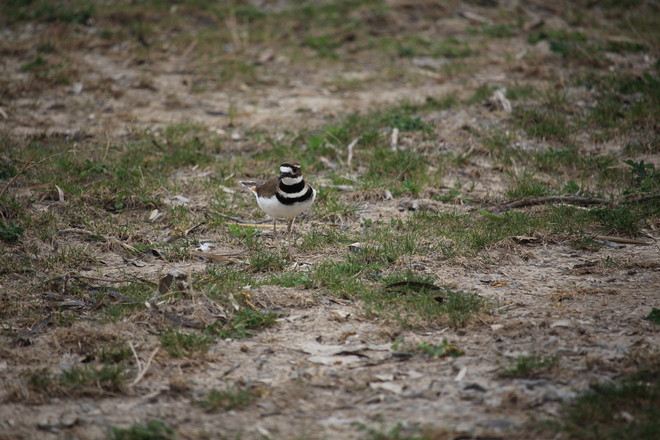 Killdeer Near Her Nesting Site St. Catharines, ON