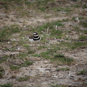 Killdeer Near Her Nesting Site