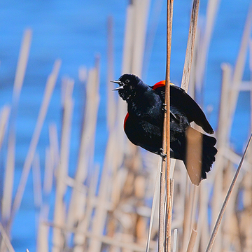 Male Redwinged Blackbird