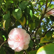 say goodbye to the pink camellias