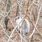 Snowshoe hare in the forest today