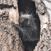 Porcupine in its tree den