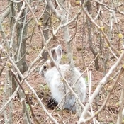 Snowshoe hare in the forest yesterday!