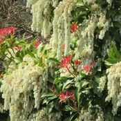red head pieris
