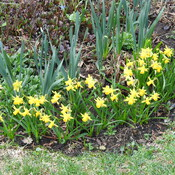 Tete a Tete Miniature Daffodils and Regular size Daffodils