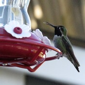 Male Anna's Hummingbird!!!