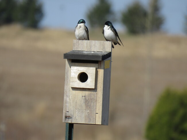 tree swallows are back Woodstock, ON