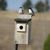 tree swallows are back
