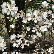 Spring Blossoms-Nature's Elixir