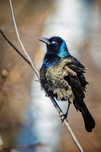 Grackle windblown Thornbury, Clarksburg, The Blue Mountains, ON