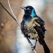 Grackle windblown