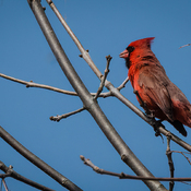 A Cardinal enjoys the view in the Little RiverCorridor.
