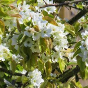 Asian pear flowers