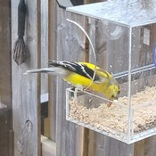 A visiting goldfinch.